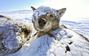 Как утеплить будку для собаки: требования к утеплению. Применение войлока, минеральной ваты, пенопласта, рулонных утеплителей